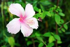Flores del hibisco Fotografía de archivo libre de regalías