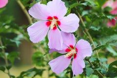 Flores del hibisco Imagen de archivo libre de regalías