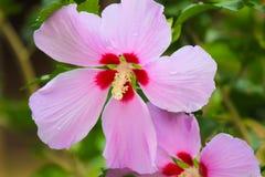 Flores del hibisco Fotos de archivo libres de regalías