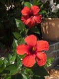 Flores del hibisco fotografía de archivo