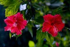 Flores del hibisco Imágenes de archivo libres de regalías
