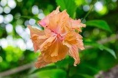 Flores del hibisco - flor anaranjada Imagen de archivo libre de regalías