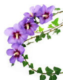 Flores del hibisco y ramitas verdes Fotografía de archivo