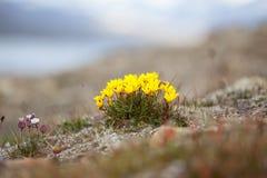 Flores del hirculus amarillo del Saxifraga de la saxífraga del pantano de Svalbard en Svalbard Ártico de la flora de Noruega fotografía de archivo