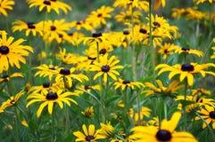 Flores del hirta del Rudbeckia, amarillas y negras Fotos de archivo libres de regalías