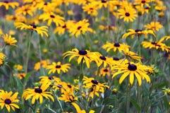 Flores del hirta del Rudbeckia, amarillas y negras Imagen de archivo