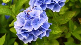 Flores del hortensia almacen de metraje de vídeo