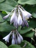 Flores del Hosta Foto de archivo libre de regalías