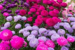 Flores del hrysanthemum del ¡de Ð Imagenes de archivo