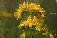 Flores del Hypericum del primer (perforatum del Hypericum o el w de St John Imágenes de archivo libres de regalías