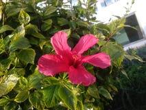 Flores del ibiza fotografía de archivo libre de regalías