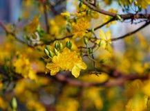Flores del integerrima del Ochna en el tiempo de primavera Foto de archivo