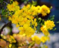 Flores del integerrima del Ochna en el tiempo de primavera Fotografía de archivo libre de regalías