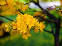 Flores del integerrima del Ochna en el tiempo de primavera Imágenes de archivo libres de regalías