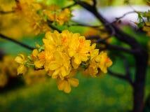 Flores del integerrima del Ochna en el tiempo de primavera Foto de archivo libre de regalías