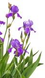 Flores del iris aisladas en el fondo blanco Fotografía de archivo