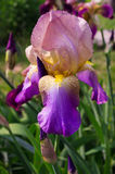 Flores del iris con las gotas de agua Imagen de archivo libre de regalías