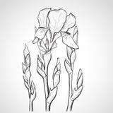 Flores del iris del bosquejo Fotografía de archivo libre de regalías