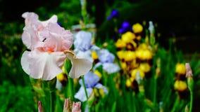 Flores del iris en primavera Fotografía de archivo libre de regalías