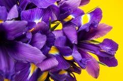 Flores del iris en un fondo amarillo foto de archivo libre de regalías