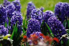 Flores del jacinto imágenes de archivo libres de regalías
