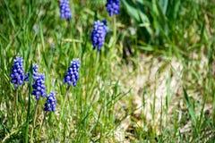 Flores del jacinto Foto de archivo