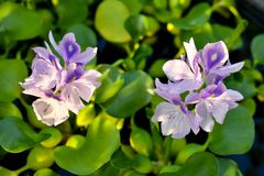 Flores del jacinto de agua fotos de archivo libres de regalías