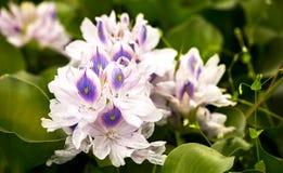 Flores del jacinto de agua en una charca imagen de archivo libre de regalías