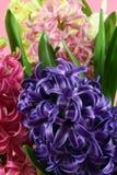 Flores del jacinto del Muscari Foto de archivo