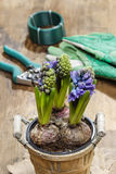 Flores del jacinto en pote de madera Imagen de archivo libre de regalías