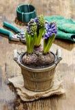 Flores del jacinto en pote de madera Imagen de archivo