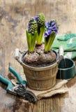 Flores del jacinto en pote de madera Fotografía de archivo