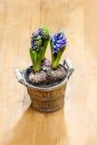 Flores del jacinto en pote de madera Foto de archivo libre de regalías