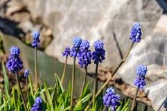 Flores del jacinto del muscari de la primavera Las primeras flores Flores delicadas del resorte 8 de marzo foto de archivo libre de regalías