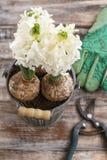 Flores del jacinto y accesorios blancos del jardín Imágenes de archivo libres de regalías