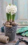 Flores del jacinto y accesorios blancos del jardín Fotografía de archivo libre de regalías