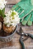 Flores del jacinto y accesorios blancos del jardín Imagenes de archivo
