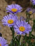 Flores del jardín Foto de archivo libre de regalías