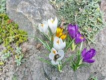 Flores del jardín azafranes Foto de archivo libre de regalías