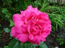 Flores del jardín El rojo se levantó Imagen de archivo libre de regalías