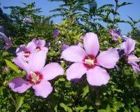 Flores del jardín hibisco Imágenes de archivo libres de regalías