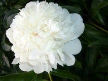 Flores del jardín Peony blanco Fotos de archivo