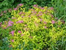Flores del jardín Spiraea rosado Imágenes de archivo libres de regalías