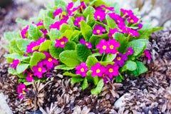 Flores del jardín y conos violetas hermosos del pino Imágenes de archivo libres de regalías