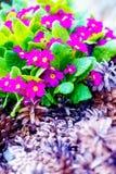 Flores del jardín y conos violetas hermosos del pino Fotografía de archivo libre de regalías