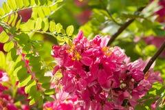 Flores del javanica de la casia (Apple florece el árbol del árbol, rosado y blanco de la ducha) Imagen de archivo libre de regalías
