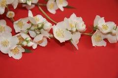 Flores del jazmín Imagen de archivo