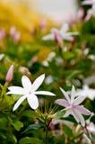 Flores del jazmín Fotos de archivo libres de regalías