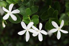 Flores del jazmín Fotos de archivo