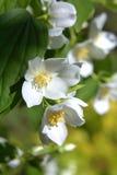 Flores del jazmín Imagen de archivo libre de regalías